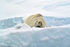 En gullig bild av en skyddsremsa på den insnöade Antarktis Royaltyfria Foton