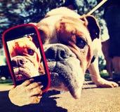 En gullig bulldogg med en mobiltelefon som tar en selfie arkivfoton