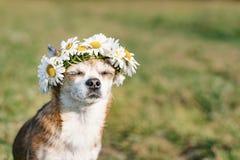 En gullig chihuahua för liten hund med en krans av kamomillen på hennes huvud sitter i solen i ängen med stängda ögon vovve arkivbilder