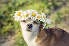 En gullig chihuahua f?r liten hund med en krans av kamomillen p? hennes huvud sitter i solen i ?ngen med st?ngda ?gon vovve royaltyfri bild