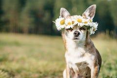 En gullig chihuahua f?r liten hund med en krans av kamomillen p? hennes huvud sitter i solen i ?ngen med st?ngda ?gon vovve arkivfoton