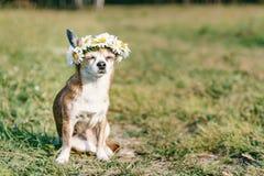 En gullig chihuahua f?r liten hund med en krans av kamomillen p? hennes huvud sitter i solen i ?ngen med st?ngda ?gon vovve arkivfoto