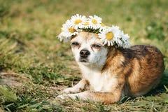 En gullig chihuahua f?r liten hund med en krans av kamomillen p? hennes huvud sitter i solen i ?ngen med st?ngda ?gon vovve royaltyfri foto