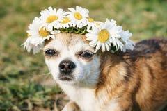 En gullig chihuahua f?r liten hund med en krans av kamomillen p? hennes huvud sitter i solen i ?ngen med st?ngda ?gon vovve royaltyfria foton