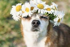 En gullig chihuahua f?r liten hund med en krans av kamomillen p? hennes huvud sitter i solen i ?ngen med st?ngda ?gon vovve fotografering för bildbyråer