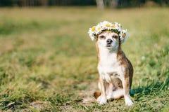 En gullig chihuahua f?r liten hund med en krans av kamomillen p? hennes huvud sitter i solen i ?ngen med st?ngda ?gon vovve arkivbild
