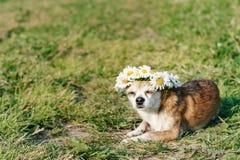 En gullig chihuahua f?r liten hund med en krans av kamomillen p? hennes huvud sitter i solen i ?ngen med st?ngda ?gon vovve arkivbilder