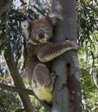 En gullig grå koala Royaltyfri Fotografi