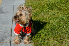En gullig hund i en stilfull dräkt och en frisyr Arkivbild