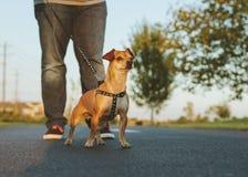 En gullig hund på en koppel arkivfoton