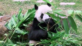 En gullig jätte- panda som äter bambuzoo stock video