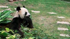 En gullig jätte- panda som äter bambuzoo arkivfilmer