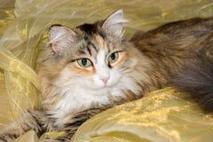En gullig katt ligger på en organza Arkivfoto