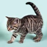 En gullig kattunge som curiosly kråma sig Arkivbild