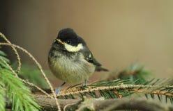 En gullig kolmes, Periparus ater, fågelunge sätta sig på en filial Royaltyfri Fotografi
