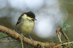 En gullig kolmes, Periparus ater, fågelunge sätta sig på en filial Arkivfoto