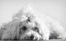 En gullig kvinnlig maltese hund Arkivbild