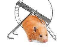 En gullig liten hamster Arkivfoton