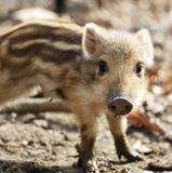 En gullig liten lös svinlånga med band i natur Royaltyfria Foton