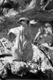 En gullig meerkat Royaltyfri Foto