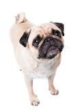 En gullig mopshund Royaltyfria Bilder