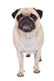 En gullig mopshund Royaltyfria Foton
