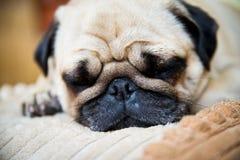 En gullig mopshund Fotografering för Bildbyråer