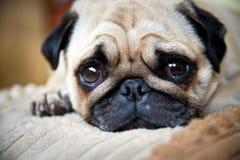 En gullig mopshund Arkivfoto