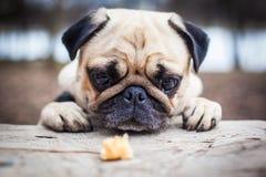 En gullig mopshund Royaltyfri Fotografi