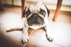 En gullig mopshund Arkivbild