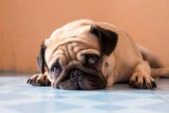 En gullig mopshund med ett ledset Royaltyfri Bild