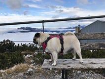 En gullig mopshund på Alpspitz, Tyskland arkivfoton