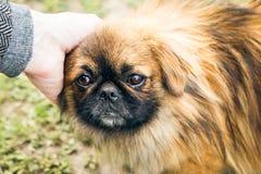 En gullig pekingese hund Fotografering för Bildbyråer