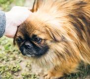 En gullig pekingese hund Arkivfoton