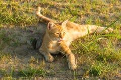 En gullig röd katt på grönt gräs håller ögonen på något Sommar solnedgång, är djuret svårt att värma fotografering för bildbyråer