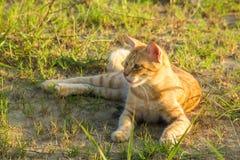 En gullig röd katt på grönt gräs håller ögonen på något Sommar solnedgång, är djuret svårt att värma royaltyfri foto