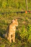 En gullig röd katt på grönt gräs håller ögonen på något Sommar solnedgång, är djuret svårt att värma arkivfoton