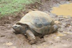 En gullig sk?ldpadda i gyttja, svarta naturliga flodklyftor parkerar, Mauritius royaltyfri fotografi