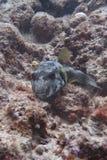 En gullig svart balloonfish Arkivfoton