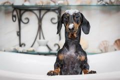 En gullig tax för liten hund, svart och solbränt som tar en bubbelbad med hans, tafsar upp på kanten av badar fradga på huvudet o royaltyfria bilder