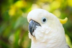 En gullig vit kakadua i den gröna skogbakgrunden Sulphur-CR Arkivfoton