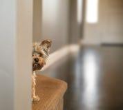 En gullig yorkshire terrier som kikar från omkring en vägg, tonade med a Arkivfoton