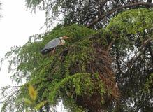 En häger på trädet Fotografering för Bildbyråer