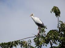 En hägerfågel står på trädet Royaltyfri Bild