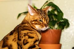 En härlig Bengali katt sitter bredvid en blomma royaltyfria bilder