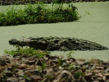 En härlig bild av en stor krokodil eller gharial i en sjö arkivbild
