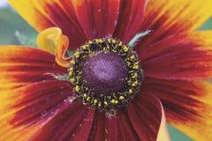 En härlig blomma av Rudbeckia, coneflower stänger sig upp arkivfoton