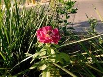 En härlig blomma på gatan Arkivbilder