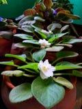 En härlig blommaväxt med vita kronblads och gräsplansidor Royaltyfri Foto