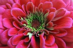 En härlig blomstrad röd Zinniablomma Arkivfoto